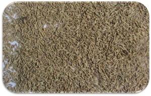 Cumin-Seeds-Europe-Quality