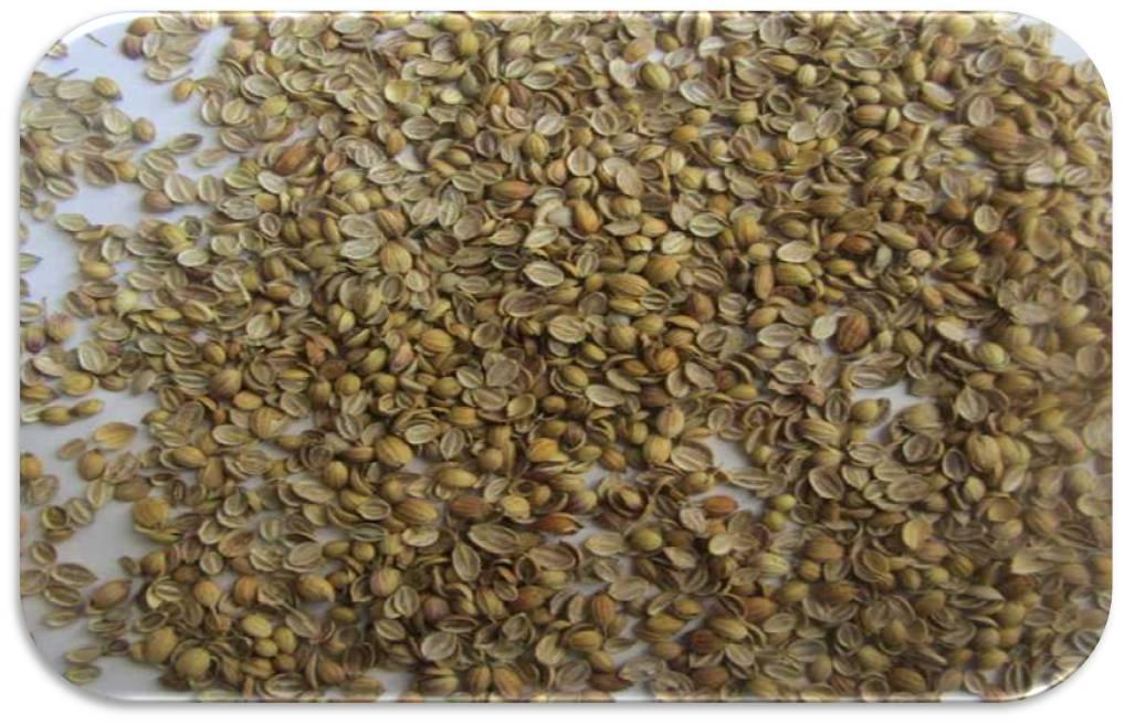 Coriander Seeds Splits Eagle Quality